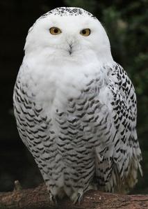 425px-Snowy-Owl---Schnee-Eule-jpg(1)
