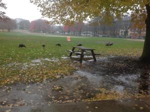 Turkeys at bhs-2